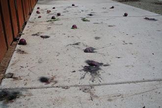 Photo: Plums deadfall Santa Barbara, September 7, 2012.