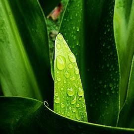Rain drop by Brojonath Banerjee - Nature Up Close Leaves & Grasses