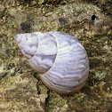Orthalithid Land Snail