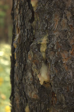 Photo: Ponderosa pine exuding sap to keep out mountain pine beetles