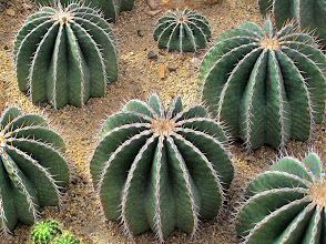 Photo: cacti in the arid glass house
