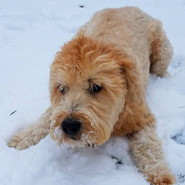 Dog in Snow by Vijay Govender - Animals - Dogs Playing