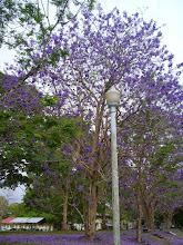 Photo: If anyone likes purple, then plant one of these beautiful trees