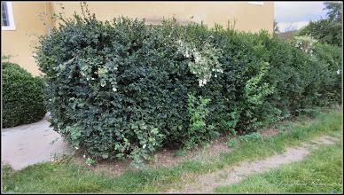 Photo: Hurmuz alb (Symphoricarpos albus) - de pe Str. Avram iancu - 2016.10.08