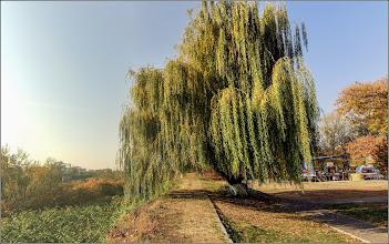 Photo: Salcie (Salix) - din Turda, Parcul Central - 2019.10.20