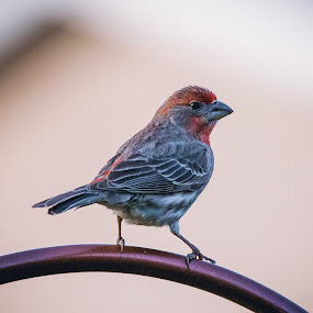 House Finch by Rick Shick - Animals Birds ( bird, nature, wildlife, birds )