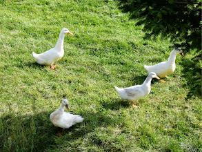 Photo: アヒル Domestic Duck