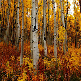 Colorful Aspens by Brian Kerls - Landscapes Forests ( america, fall colors, back packing, colorful, splendor, plants, yellow, travel, leaf, leaves, landscape, usa, hiking, mountains, aspen trees, nature, tree, camping, autumn, bark, gold, autumn colors, aspens, logs, aspen forest, colorado, colorado landscape, tourism, forest, scenic, destination, field, aspens in fall;, wilderness, red, aspen glade, aspen grove, fall, outdoors, trees, western, october, scenery, natural, golden )