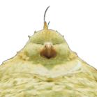 デブチョコボアイコン