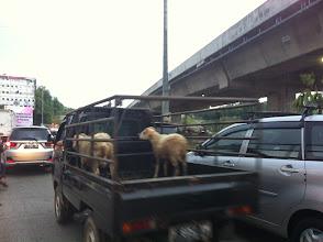 Photo: Corderos que serán sacrificados en Idul Adha.
