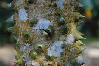 Photo: Kepok tree (a young one)
