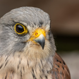 Kestrel study by Barry Smith - Animals Birds ( kestrel, bird of prey, nature, animals, birds,  )