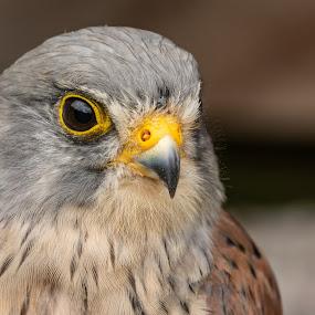 Kestrel study by Barry Smith - Animals Birds ( kestrel, bird of prey, nature, animals, birds,  )