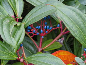 Photo: Viburnum davidii, Acorn Bank Gardens, Penrith