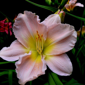 daylily pinky.jpg