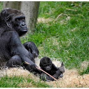 Lovely Times  by Veronique Aubois-Mann - Animals Other Mammals ( expression, body, face, textures, gorilla, eyes, playing, details, mother, watching, hairs, fur, twig, baby, lowland, coat, posture )