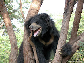 Photo: A sloth bear called Baloo freed, brought back to good health and living in peace and contentment at Bannerghatta