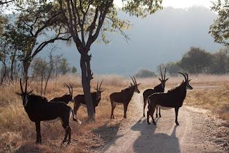 Photo: Sable antelope in the light of the sun / Antilopa vraná v paprskách večerního slunce