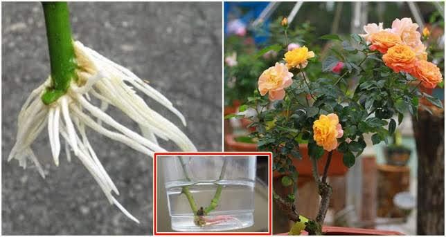 Chỉ với 1 cốc nước, cành hồng ra rễ sau 10 ngày, hoa nở rực sau 1 tháng