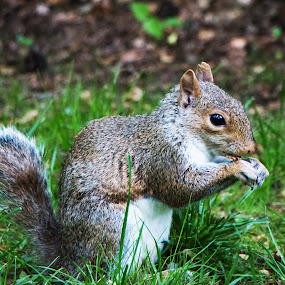 Squirrel in NYCP by Adam Chua - Animals Other Mammals (  )