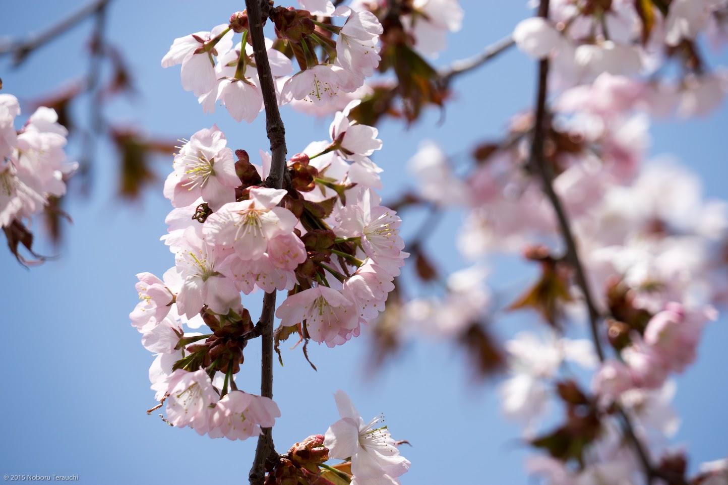 桜咲く5月