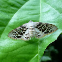 Rhodoneura pudicula