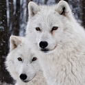 white wolf wallpapers icon