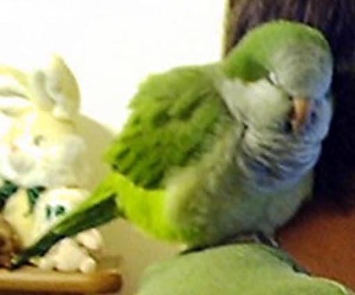 Quaker Parrots Wallpapers FREE