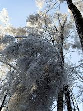 Photo: 7 января ледяные веточки уже частично облеплены тяжелым снегом