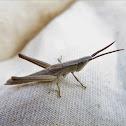 Bunchgrass Grasshopper