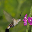 Bee hawk moth