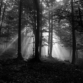 by Siniša Almaši - Black & White Landscapes ( forest, sunrays, nature, light, woods, natural light, trees, landscape, mist, morning,  )