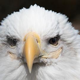 Smiling Eagle by Rusty Goris - Digital Art Animals ( smiling, bird, eagle, bald eagle, smile )