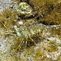 Rockpool shrimp. Quisquilla
