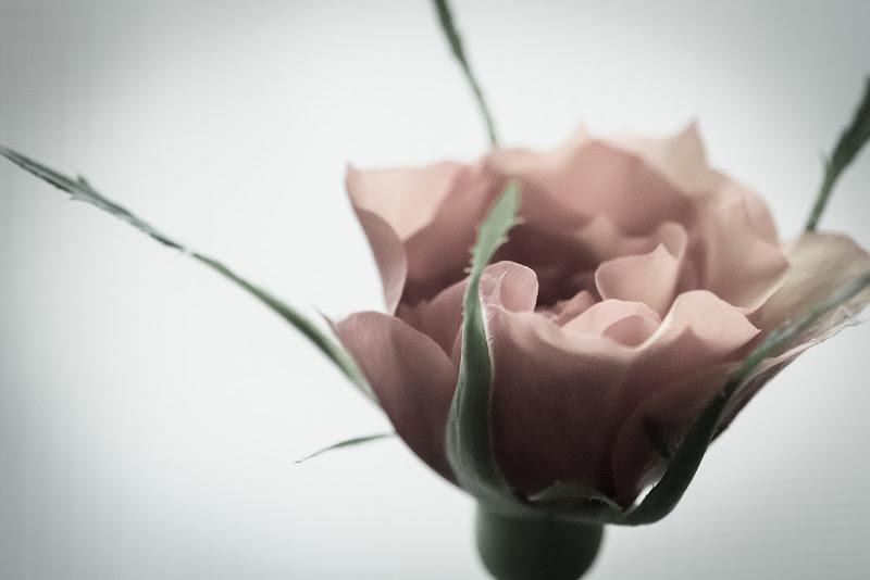 veli di petali di manu_foto