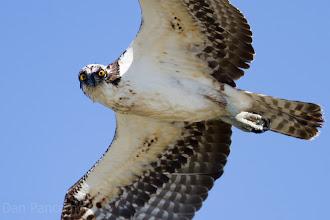 Photo: Lone Osprey - Quintana