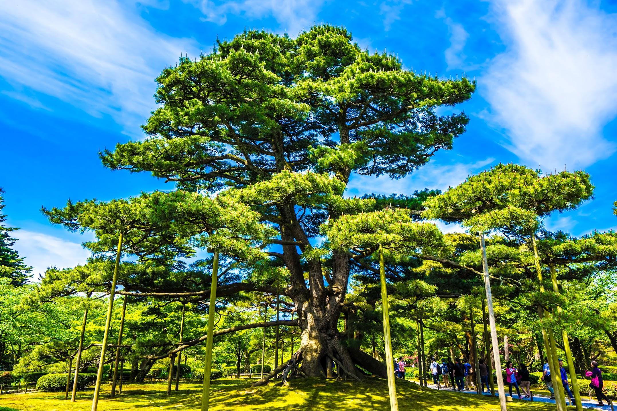 Kenrokuen Garden Neagari-no-Matsu