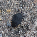 Black and Orange Shield Bug