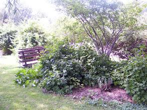 Photo: Service Berry Tree