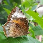 Common Palmfly ♀