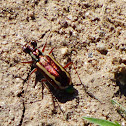White-striped tiger Beetle