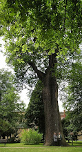 Photo: C6060011 potezny dab w parku palacowym