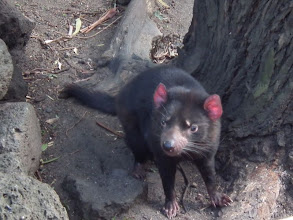 Photo: Tasmanian devil up and about