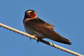 Photo: Cliff Swallow