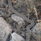 Rock viper