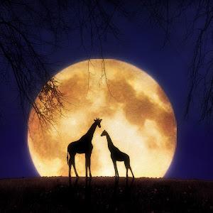 The Giraffes at Midnight copy.jpg