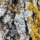 Star Roset Lichen