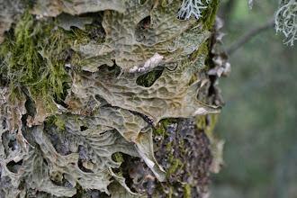 Photo: Lobaria pulmonaria