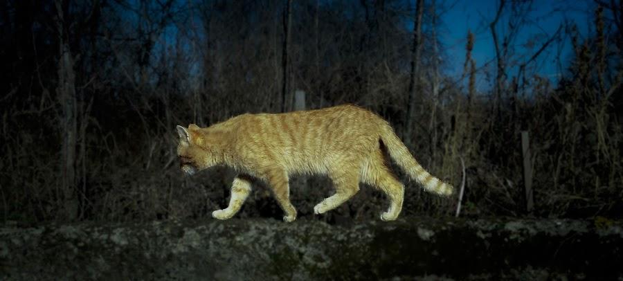 Tiger walk by Antonio Knezevic - Animals - Cats Portraits ( sky, nature, cat, tree, tiger, wall, sun )