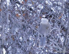 Photo: Inquisitive Gray Jay